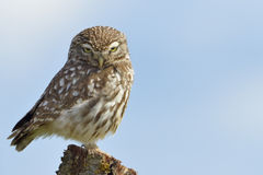 Little owl on a old tree. Stock Images