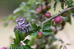 Little Owl In Orchard Stock Photography