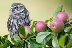 Little Owl In Orchard Stock Images