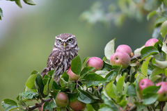Little Owl In Orchard Royalty Free Stock Photo