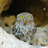 The little owl outdoor (Athene noctua) Stock Image