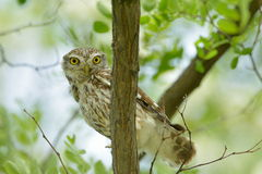 The little owl outdoor (Athene noctua) Stock Photos