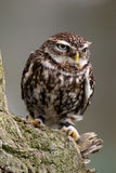 Little Owl on perch Royalty Free Stock Photo