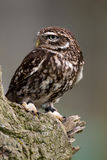 Little Owl on perch Royalty Free Stock Photography