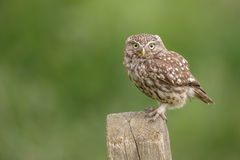 Little owl perched on a country signpost. A wild little owl on English farmland royalty free stock photo