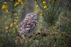 Little owl. A little owl perched and framed in a gorse bush staring forward at the camera Stock Photo