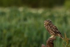 Little owl perched. This is a photograph of a little owl that is perched on a branch royalty free stock images