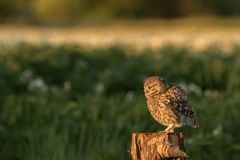 Little owl perched. This is a photograph of a little owl that is perched on a tree stump royalty free stock images