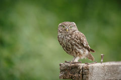 Little owl perched on a piece of wood Stock Photo