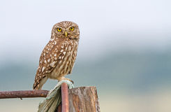 Little Owl. A Little owl is perching in daylight in East Rhodopi Mountains, Bulgaria stock photography