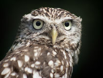 Little Owl Portrait Royalty Free Stock Photo