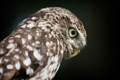 Little Owl Portrait Profile Royalty Free Stock Images