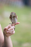 Little owl posing on finger Royalty Free Stock Images