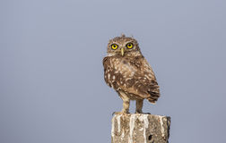 Little Owl on a Post Royalty Free Stock Photos