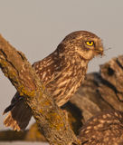 Little Owl with prey. A Little Owl (Athene noctua) brings a big locust to feed her chicken royalty free stock image