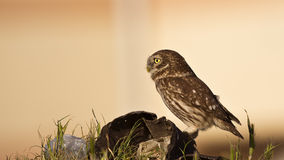 Little Owl on a Rock Royalty Free Stock Photo