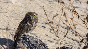 Little Owl on Rock Stock Image