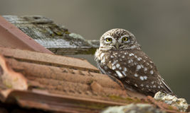 Little Owl on the Roof. Little Owl is on the Roof royalty free stock image