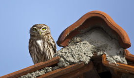 Little Owl on the Roof. Little Owl is on the Roof stock photos