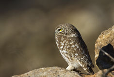 Little Owl on Sentry. Little owl is watching around on a piece of rock Royalty Free Stock Photos