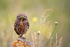 The little owl sits on a stone with a centipede in its beak. The little owl sits on a stone with a centipede in its beak on a beautiful background Royalty Free Stock Photos