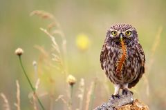 The little owl sits on a stone with a centipede in its beak. The little owl sits on a stone with a centipede in its beak on a beautiful background Stock Image