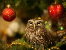 The little owl sitting on a Christmas tree near Christmas toys.  royalty free stock images
