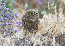 A little owl sitting on ground and eats snake. Royalty Free Stock Image