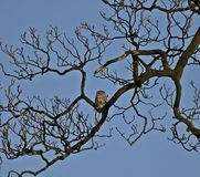 Little Owl sitting in tree Royalty Free Stock Photos