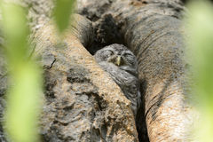 Little owl sleeping in the tree. A Little owl sleeping in the tree Stock Photos