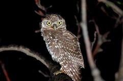 Little Owl Or Spotted Owl Stock Photography