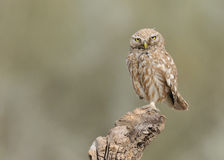 Little Owl. Stands on wood and look stock photography