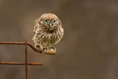 Little Owl Stare. An intense looking Little Owl stares down the lens Stock Photos