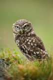 Little owl stare Stock Images