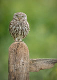 Little owl staring at the camera. A little owl in the UK perched upon an old texured sign post Royalty Free Stock Image