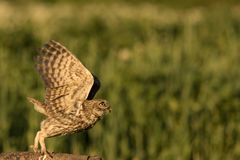 Little owl taking off. This is a photograph of a little owl taking off stock photo