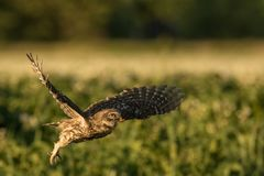 Little owl taking off. This is a photograph of a little owl taking off royalty free stock image