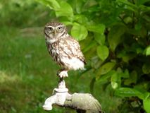 Little owl on tap. British Little Owl perched on tap royalty free stock photography