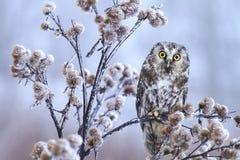 Little owl on thistle Stock Photos