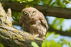 Little Owl in a tree Stock Images