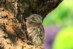 Little owl on a tree. Little owl Athene noctua in northern Germany royalty free stock photos