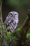 Little owl on tree branch stock images