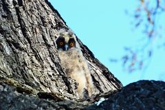 Little Owl on a tree stock photo