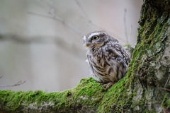 Little owl with on tree with moss Stock Photo