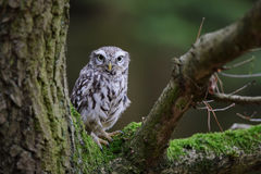 Little owl on tree Royalty Free Stock Photography