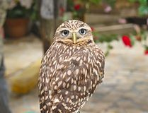 The little owl turns its head 180 degrees on its back, Japanese owl`s cafe in Tokyo royalty free stock photo
