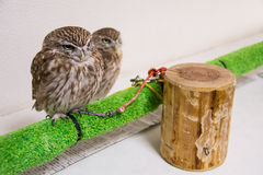 Little Owl. Little Two Owl together in somewhere Stock Photography