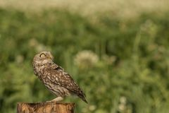 Little owl watching the skies. This is a photograph of a little owl which is watching the sky for danger stock photos