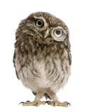 Little Owl wearing magnifying glass, Athene noctua. Little Owl wearing magnifying glass, 50 days old, Athene noctua, standing in front of a white background Royalty Free Stock Photos