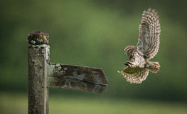 Little owl. A wild little owl coming into land on an old sign post Stock Photography
